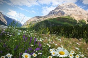 10413475-field-of-daisies-and-wild-flowers-with-rocky-mountains-in-background