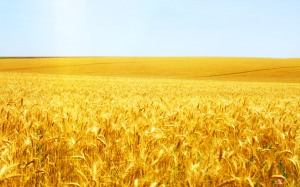 goldenwheat field222