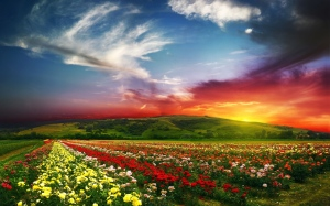 flower-field-sunset